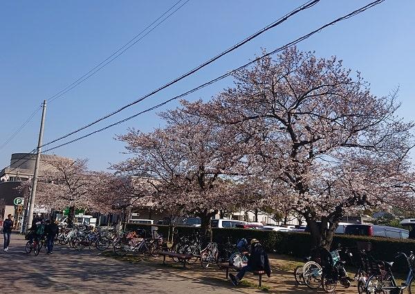 末広中央公園に桜が咲いた