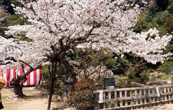 清荒神の桜