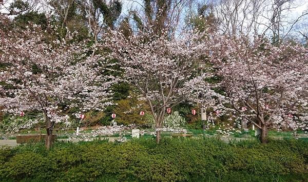 大堀川公園の桜