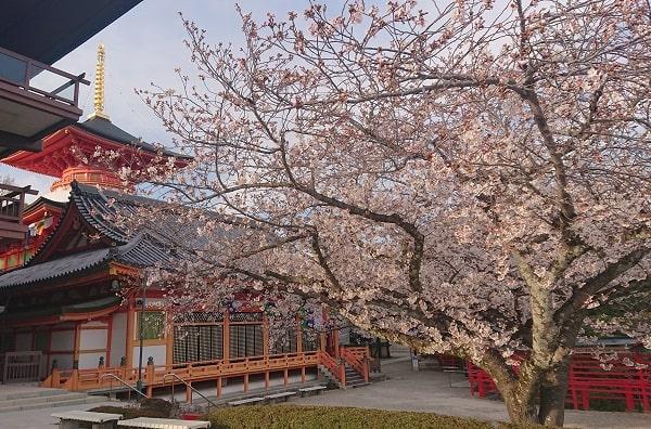 中山寺の休憩所の桜