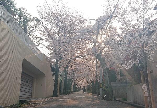 寿楽荘の桜並木