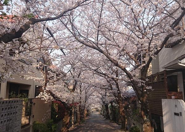 宝塚南口の桜のトンネル